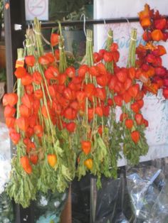 chinese lantern flowers hang to dry