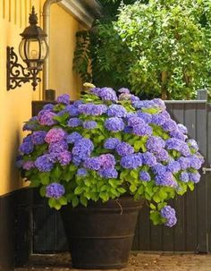 Container Gardening Ideas Hortensias - Create beautiful pots and planters with hydrangeas. Check out these 25 hydrangea pot and planter arrangements. Hydrangea Potted, Hydrangea Garden, Hydrangea Flower, Blue Flowers, Potted Flowers, Hydrangeas, Smooth Hydrangea, Limelight Hydrangea, Small Gardens