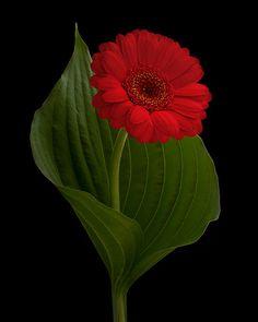 ~ Dare to be Bold ~ | por njk1951 Red Gerbera Daisy