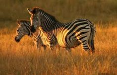 I love the design of Zebras too. So cool!