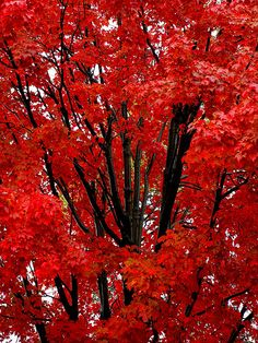 Red -- Vermont Maid - the sweet taste of maple syrup! - vermontmaid.com #maple #tree