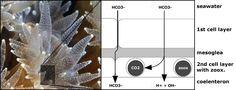 coral calcification - Szukaj w Google
