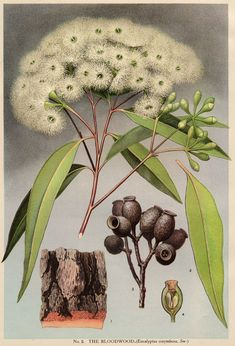 Australian Botanical Illustration Corymbia gummifera Red Bloodwood artist: Edward Minchen (1862-1913) from: 'The Flowering Plants and Ferns of New South Wales - Part 5' (1896) by J H Maiden NSW Government Printing Office Published as: Eucalyptus corymbosa