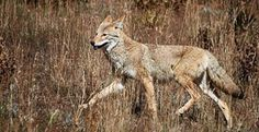 Basic Coyote Hunting Tips | Field & Stream