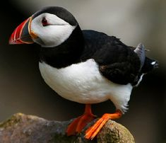 I positively LOVE Puffins!