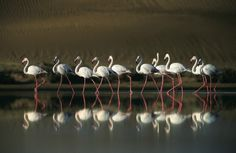 Wildlife photographer Heinrich van den Berg travelled through his native South Africa, Botswana, Namibia, Rwanda and Madagascar for his book Art of Nature. Flamingoes are reflected in Walvisbay, Namibia. Wildlife Photography, Art Photography, Wildlife Wallpaper, World Birds, White Egret, Camera Shy, Special Pictures, Mundo Animal, African Animals