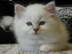 LIONS ROYALE Ragdolls - Ragdoll Kittens Available