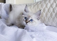 This is Diva (a Lynx Point Ragdoll Kitten).  She is 11 weeks old and is a new additional to our family.