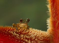 White - bellied stream frog