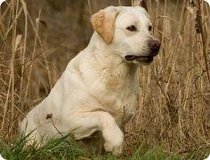 labrador retriever | Labrador Retriever -