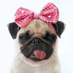 This is just too much. I love when pugs stick their tongues out like this. Just way too cute.