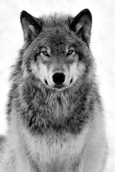 Is it just me or does this wolf's expression look amused about something? Lol!