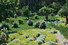 In the gardens of a house on Ibiza by the firm Carden Cunietti, olive trees flourish amid yellow-flowered santolina and mounds of gray-green germander.