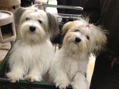 All About The Smart Havanese Puppy Personality Havanese Haircuts, Havanese Grooming, Havanese Puppies, Dog Grooming, Cute Puppies, Cute Dogs, Dogs And Puppies, Doggies, Dog Pictures