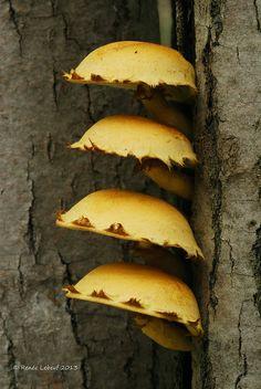 Pholiota multifolia  by Renée Lebeuf, via Flickr