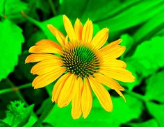Coneflower, Kentlands, Imagination IMG_7600A Photograph by Roy Kelley Roy and Dolores Kelley Photographs