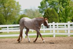 Good N Sultry  (Zippos Mr Good Bar x Hot As I Wanna Be)  2003 Red Roan AQHA Stallion