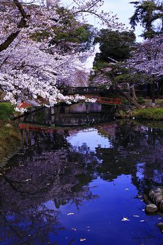 和傘,Sakura,wagasa,cherry blossom,桜