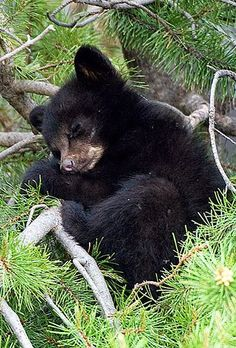 Nature Animals, Animals And Pets, Wild Animals, Urso Bear, Black Bear Cub, Sleeping Animals, Bear Cubs, Grizzly Bears, Tiger Cubs