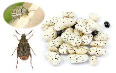 Chrobáky v uskladnenej fazuli: Ako si poradiť so zrniarkou?   Záhrada.sk Vegetables, Food, Veggies, Essen, Vegetable Recipes, Yemek, Meals