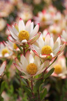 Australian Native Garden, Australian Native Flowers, Australian Plants, All Flowers, Purple Flowers, Beautiful Flowers, Flower Background Wallpaper, Flower Backgrounds, Colorful Plants