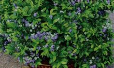 Two blueberry varieties stay small and won't need extensive pruning to thrive in your containers:  * Northern Highbush 'Top Hat'  * Southern Highbush 'Sunshine Blue'