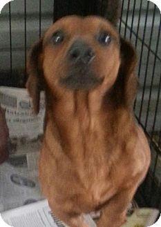 Ringoes, NJ - Dachshund. Meet Bourbon, a dog for adoption. http://www.adoptapet.com/pet/12642873-ringoes-new-jersey-dachshund