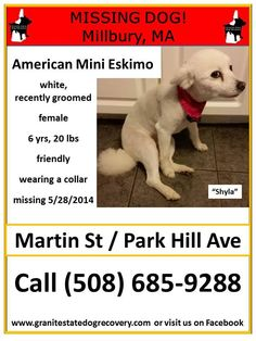 """Missing in Millbury MA – """"Shyla"""" is an American Mini Eskimo, shaved white fur with some black freckles on back, 6 years, 20 pounds, wearing a collar, and friendly. She escaped the house when a child accidentally let her out. Missing since 5/28/2014 from Martin Street and Park Hill Avenue. Please share her flier. Call (508) 685-9288 if seen"""