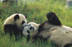 Giant Panda with baby