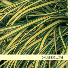 Evergold - Sedge - Carex hachijoensis