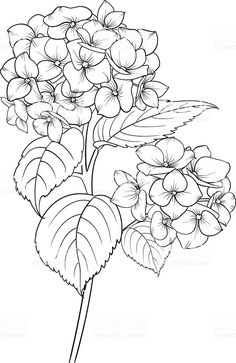 Blooming flower hydrangea on white background. Mop head hydrangea flower isolated against white . Flower Line Drawings, Flower Sketches, Art Drawings, Flower Drawing Tutorials, Painting Tutorials, Art Floral, Floral Drawing, Floral Design, Fabric Painting