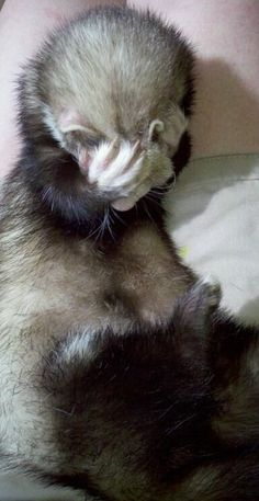 They do a mean face-palm. | 19 Reasons Ferrets Make The Most Adorable Pets