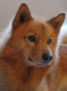 For the love of a Finnish Spitz. Spitz Dog Breeds, Spitz Dogs, Best Dog Breeds, I Love Dogs, Cute Dogs, Animals And Pets, Cute Animals, Puppies And Kitties, Doggies