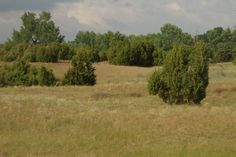 Kiskunsági rétek, puszták - Orgoványi-rétek / Ágasegyházai-rétek. Itt már száraz, homokos a talaj, pár 100 m-el odébb láprétek mellett vezet az Út. #nature #puszta #photography #juniperus #trees #steppe #pampa #landscape #Hungary #Cumania #cuman #Kiskunság #Alföld #természetfotók #boróka #természet #tájkép
