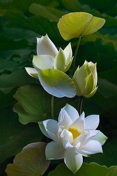 ...Zen > WabiSabi < Zen... Lotus Flower Pictures, Lotus Flower Art, Lotus Art, Flower Images, Blossom Flower, Flower Photos, Lotus Blossoms, Beautiful Flowers Wallpapers, Beautiful Roses