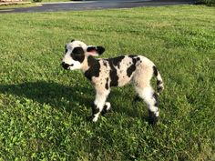 We had another miniature harlequin sheep / lamb, ewe. Merinda was born 7-17-17. She is for sale at spottydottyacres@gmail.com