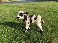 We had another miniature harlequin sheep / lamb, ewe. Merinda was born 7-17-17. She is for sale at spottydottyacres@gmail.com