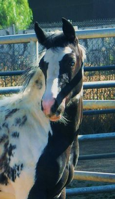 Unforgettable Oreo, homozygous tobiano Paint mare, who also carries rabicano. This is a picture of her as a filly, showing her partial blue eye. Proudly owned by Barbara Morrison. https://scontent-a-sea.xx.fbcdn.net/hphotos-prn1/t1.0-9/41052_107606259295444_1663050_n.jpg