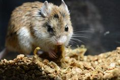 Scorpion-Eating Mouse Inspires Anesthetic at MSU