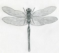 how to draw dragonfly (10)