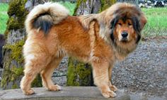 Tibetan Mastiff referred as The Do Khyi that very popular with the legendary stories that famous for their ferocity as a guard dog in Tibet monasteries Giant Dog Breeds, Giant Dogs, Big Dogs, Large Dogs, Mastiff Breeds, Mastiff Dogs, Tallest Dog Breed, Dogue Du Tibet, Aggressive Dog Breeds