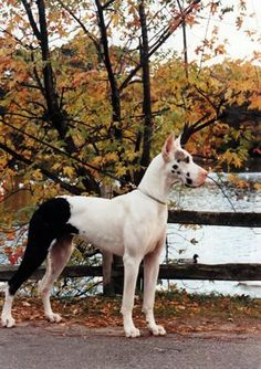 """Awesome """"great dane puppies""""xx detail is available on our web pages. Cute Dog Costumes, Dog Halloween Costumes, I Love Dogs, Cute Dogs, Chien Halloween, Sweet Dogs, Great Dane Puppy, Blue Great Dane Puppies, Cartoon Dog"""