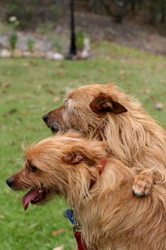 Red Australian Terrier // Life with Bess