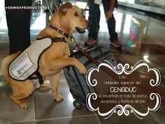 Las unidades caninas del CENADUC buscan evitar o disminuir el riesgo de introducción de plagas y enfermedades exóticas al país. SAGARPA SAGARPAMX #SomosProductores