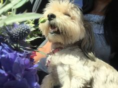 Beautiful Flowers . Dolly . Bichon Havanez . Happy. Girl. ❤️