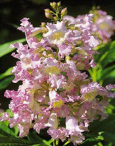 Flowers from a Chitalpa tree!