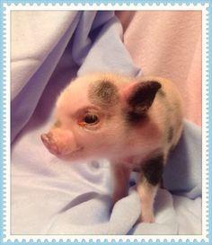 I'm the runt of the last litter at microminipigs.com Mini Pigs, Cute Piggies, Pet Pigs, Life Is Beautiful, Cute Animals, Piglets, Cake Pops, Funny, Jazz