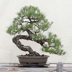 Kusamura Bonsai Club - Making Dramatic Bends in a Pine Bonsai Plants, Bonsai Garden, Bonsai Trees, Growing Seeds, Growing Tree, Pine Seeds, Tree Seedlings, Grow Kit, Miniature Trees