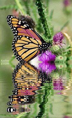 Animated Graphics, Reflections, Butterrflies, Butterflies, Animated Gifs, Animated Gif, Keefers photo Keefers_BeautifulFlowers3370-1-1.gif