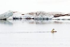 95f5cfba837 A polar bear cub and its mother swim through the Arctic Ocean in Svalbard